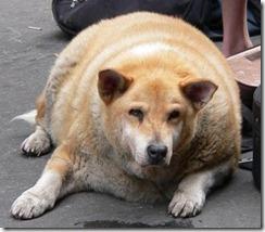 fat_dog